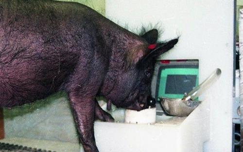 Учёные научили свиней играть в видеоигры
